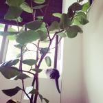 梨花ちゃん新居インテリア>>まるい葉っぱの観葉植物はコレ>>【ウンベラータ】