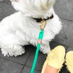 滝沢眞規子さん愛犬グッズまとめ>>『ウエストハイランドテリア』とは?犬用品(リード/服/コスチューム/イベントグッズなど)